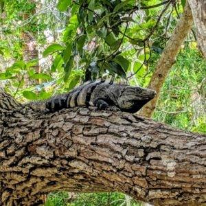Mayaland Lizard